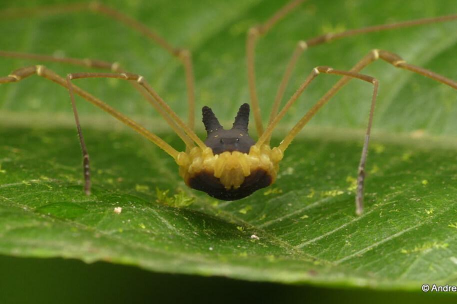 Köpek Kafalı Örümcek