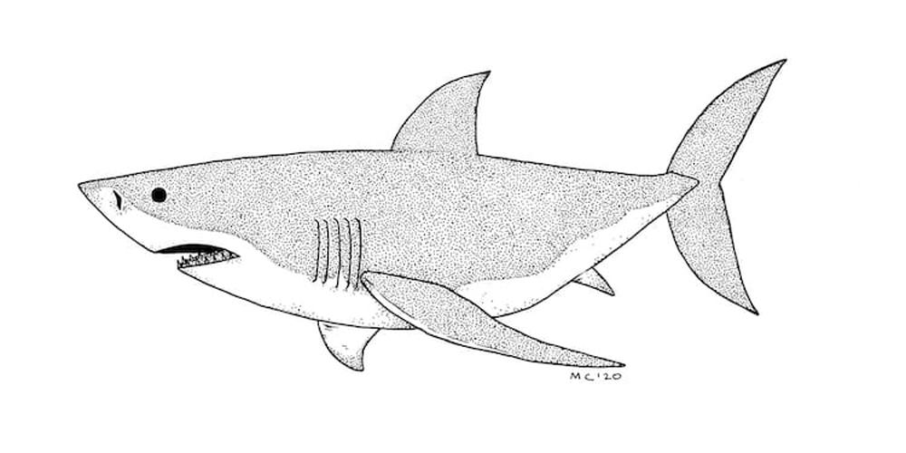 7 Adımda Büyük Beyaz Köpekbalığı Çizimi