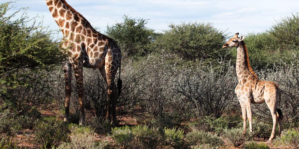 Araştırmacılar İlk Cüce Zürafaları Buldu
