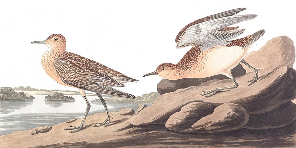 Audubon'un Suluboya Koleksiyonu