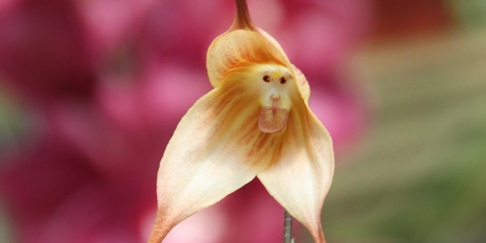 Capuchin Maymununa Benzer Orkide Türü
