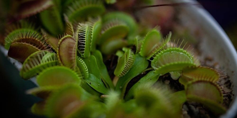 Etçil Bitkiler