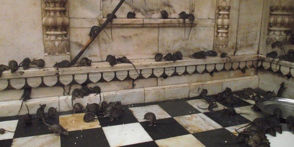 Fareli Tapınak: Karni Mata