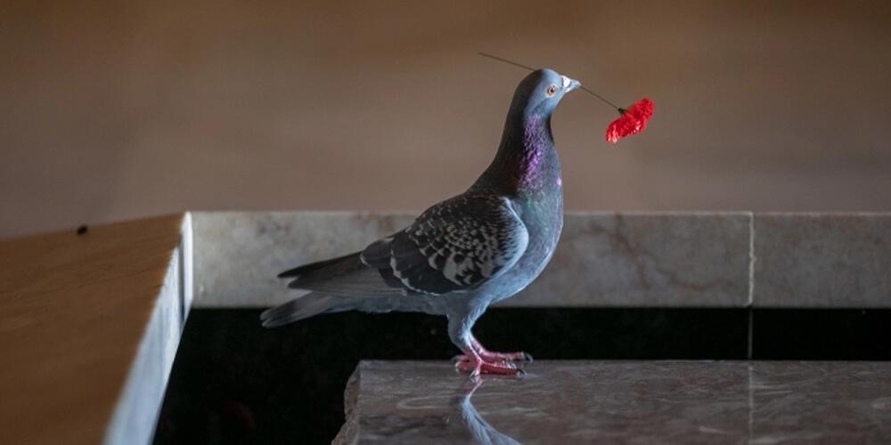 Gelincik Hırsızı Güvercin