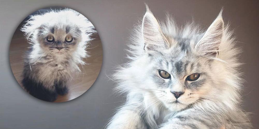 Huysuz Bir İhtiyara Benzeyen Kedi Türü