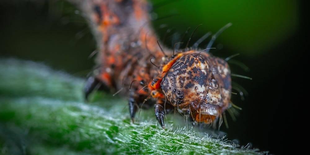 Larva Nedir?