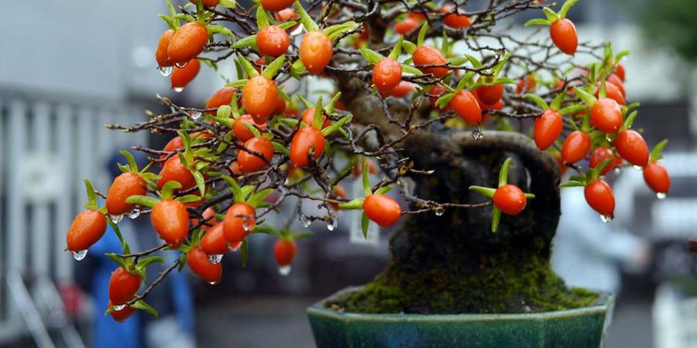 Meyve Veren Minik Bonsai Ağaçları