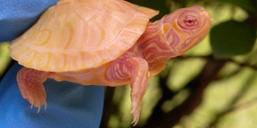 Nadir Bulunan Albino Kaplumbağası